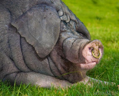 Why Do Hogs Have Nose Rings